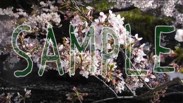 桜の映像素材(昼桜45シーン/夜桜28シーン)